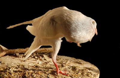 Le pigeonneau dans le pigeonnier....