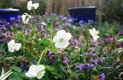 Viola cornuta 'White Perfection'