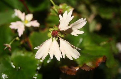 Saxifraga cortusifolia 'Cheap Confection'