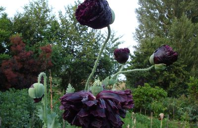 Papaver somniferum 'Black Paeony'.