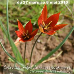 Collection Nationale de tulipes botaniques