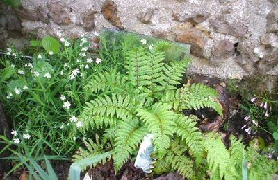 Polystichum polyblepharum – Pattes d'ours