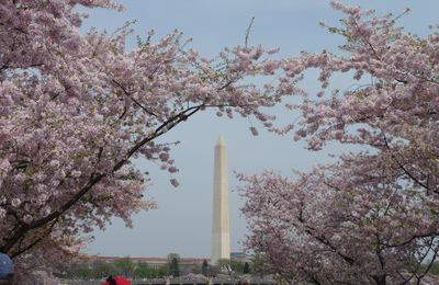 Cherry Blossom Festival à Washington DC