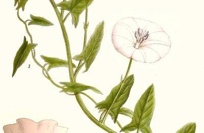 Dimanche fleuri : Le liseron