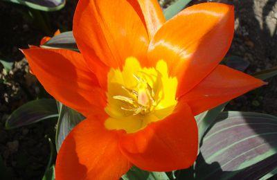 Mandala-tulipe