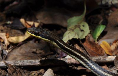 Serpent dromicodryas bernieri de Madagascar
