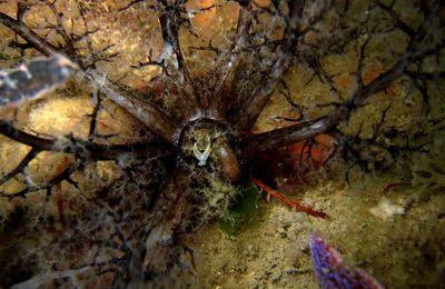 Concombre de mer, Echinoderme : Lèche-doigts de Lefèvre (Aslia lefevrei)