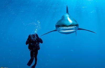 Plongeur et requin des Bahamas; hommage à National Geographic