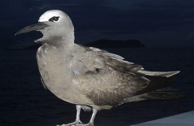 Noddi brun (Anous stolidus) oiseau pélagique à Mayotte