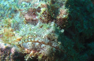 Photos sous-marines du poisson scorpion Scorpaenopsis oxycephala