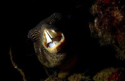 Photos sous marines nocturnes d'un poisson globe griffonné (Arothron mappa)