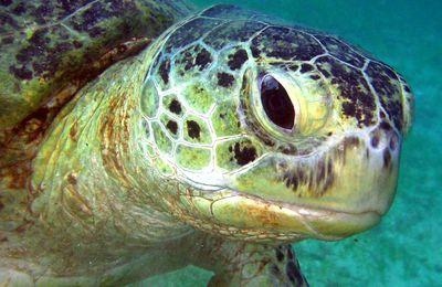vidéo d'une tortue verte (Chelonia mydas)