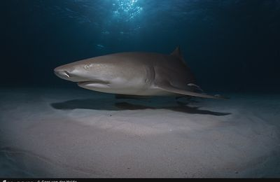 Le requin citron (Negaprion brevirostris), Lemon Shark