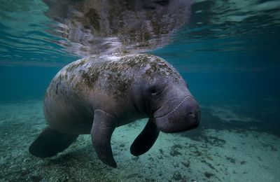 Les lamantins, Manatees (family Trichechidae, genus Trichechus)