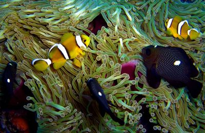 Poisson clown de Maurice, Amphiprion de l'océan Indien