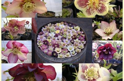 Week end Hellebores chez Thierry Delabroye