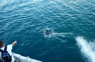 Dauphins à Bergevin Guadeloupe
