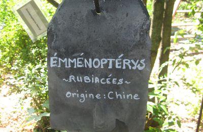 Le fabuleux Emmenopterys de Maurice