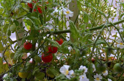 Tomates aux balcon