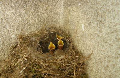 Oisillons rouge-queue noirs dans leur nid