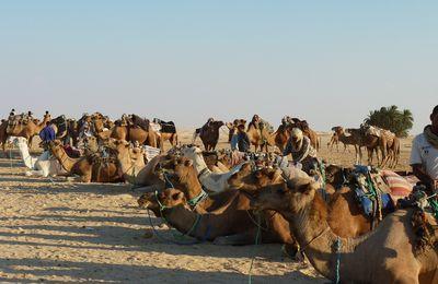 Balade à dos de dromadaires dans le désert tunisien .