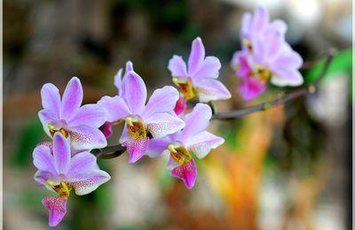 Phalaenopsis buyssoniana
