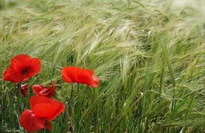 La couleur des blés