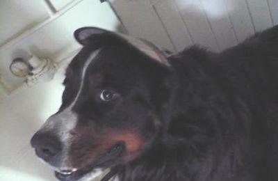 Casquette pour grand chien ( Bouvier B., Terre Neuve ...)