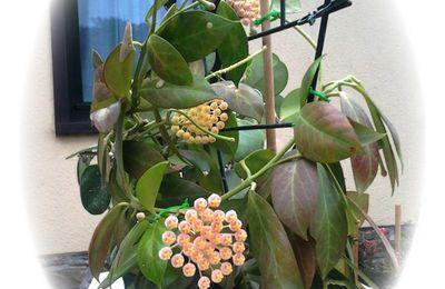 Floraison: Hoya obscura