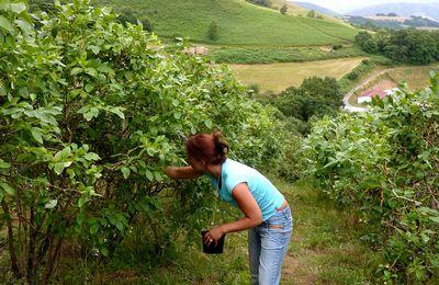 Cueillette de fruits dans les fermes ( myrtilles à Cambo )