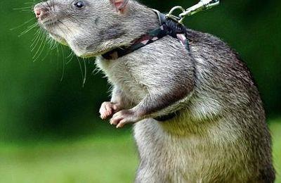 Offrez un rat démineur, un cadeau qui change des cravates !