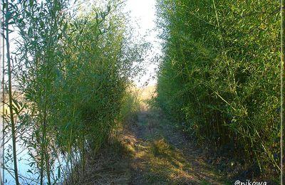 Un peu de verdure en Hiver grâce aux Bambous...