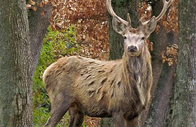QI GONG DES 5 ANIMAUX: LE CERF