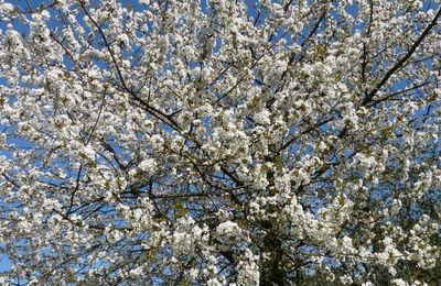 ...les cerisiers en robe de mariée...