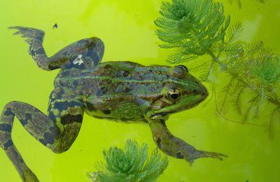 tétard et grenouille sous l'eau