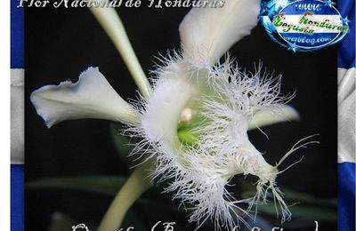 Flor Nacional de Honduras Orquídea (Brassavola digbiana)