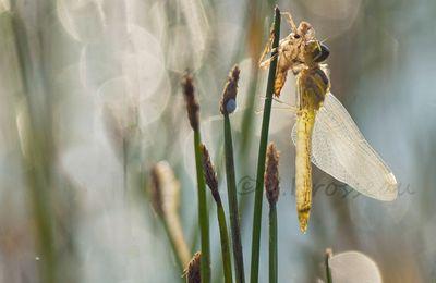 Naissances de libellules ...
