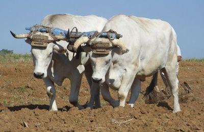 Les vaches des Pyrénées