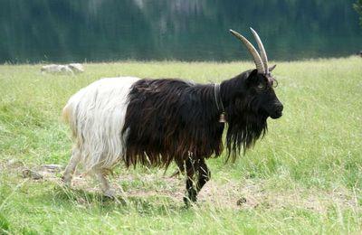 La chèvre Col noir du Valais