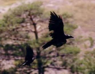 Les oiseaux d'augure (2ème partie)