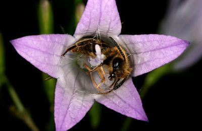 Le salut des abeilles dans l'agriculture biologique ? (1)