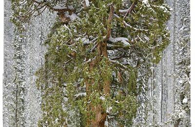 NATURE-séquoia vieux de 3200 ans