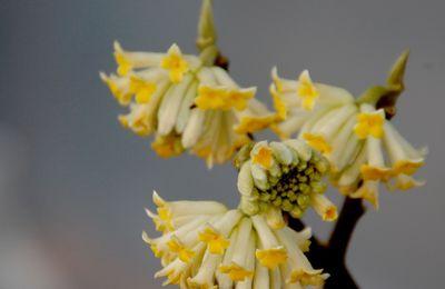 Edgeworthia chrysantha, buisson papier