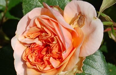 Rosier Duchesse de Cornouailles, Duchess of Cornwall