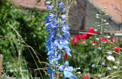 Delphinium, Pied d'alouette du jardin