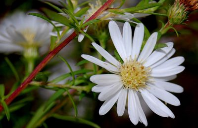 Photo du jour : Aster blanc