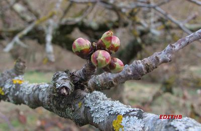 photos bourgeons d'un arbre fruitier - le printemps arrive !!