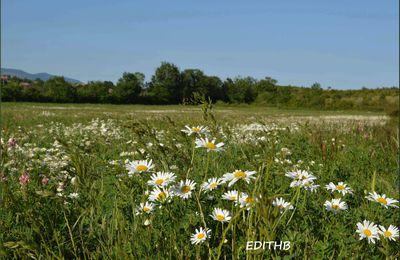 un champ de marguerites sur le larzac - aveyron
