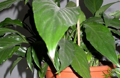S comme Spathiphyllum