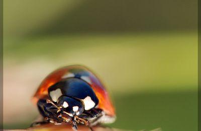 L'ordre des coléoptères